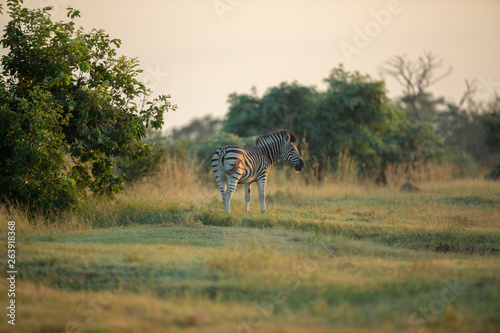 Landscape of Zebra in the early morning in an open area