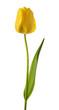 Yellow tulip flower - 263924773