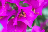 Beautiful pink petals of West Indian perwinkle with water droplets and green glossy oval leafs, known as other names are Madagascar periwinkle, Pinkle-pinkle, Old maid and cayenne jasmine
