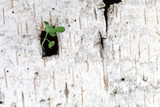 a green sprout makes its way through a square slit in the bark of white birch