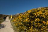 Frau geht in schöner Dünen Landschaft auf Sylt spazieren