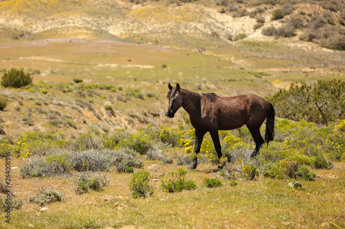 Healthy wild horses running free on the range.