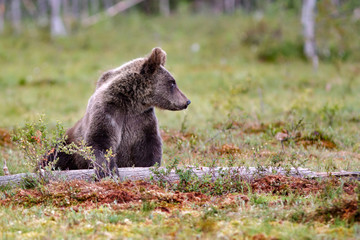Brown bear cub playing on a tree trunk in summer © thakala