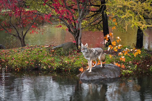 Coyote (Canis latrans) Stands on Rock Island Autumn © geoffkuchera