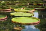 Lilie wodne liście wodne
