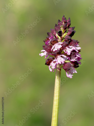 Orchis purpurea flower, purple wild orchid. Aka Lady orchid.