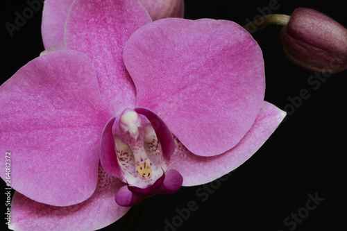 Macro photo of PHALAENOPSIS pink orchid with a black background