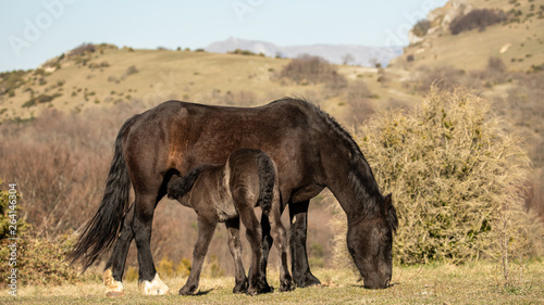Free horses  in the Drôme mountains, a foal and his mother
