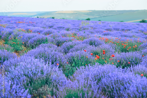 lavender flower field, beautiful summer landscape