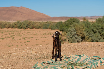 little goat in the middle of the desert with a blanket on the ground