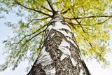 Birch stem closClose up of Birch stem and green Spring leavese up
