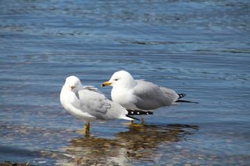 Seagulls In The Lake, William Hawrelak Park, Edmonton, Alberta