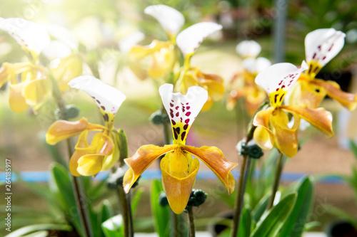 Paphiopedilum villosum orchid in the garden