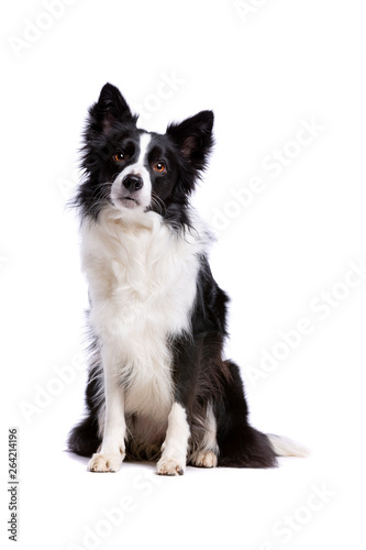 black and white border collie dog © Erik Lam