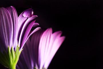 fiore con petali viola con goccia di rugiada