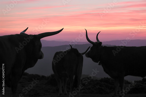 Mountain cows at dusk