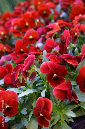colorful Viola flower © travelers.high