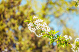 Closeup of light pink small Japanese blooms – White cherry flowers tree in a sunny day of spring – Soft and fragile little bright colored plants in a natural background