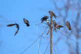 A flock of crows sitting on the wires against the sky.