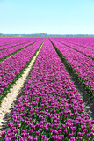 Large agricultural field with purple tulips in blossom in rows in the Noordoostpolder the Netherlands against a blue sky . Vertical image