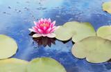 Teich mit rosa Seerose im blauen Wasser