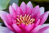 rosa Seerose Makroaufnahme