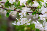 white cherry flowers on a branch close up