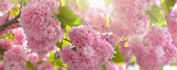 panoramic view on beautiful pink flowers in a japanese cherry tree lighting by the sun