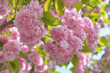 beautiful blossom of a japanese cherry tree in spring