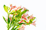 Bright alstroemeria flowers isolated on white background.