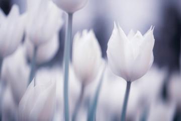 Blurry soft purple white colored blossom tulip flowers.