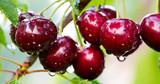 Macro shot on red cherries in the summer garden.