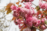 Flowers of japanese cherry tree in a garden during spring