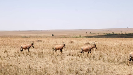 topi antelope herd walking in unison in masai mara game reserve © chris