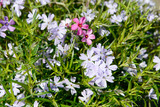 Colorful Phlox in the nature