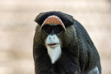 De Brazza's Monkey, Cercopithecus neglectus, an attractive primate with distinctive fur © rabbitti