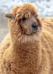 Portrait of llama in wool at the zoo © schankz