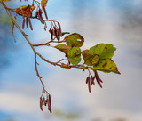 Birch branch with leaves in autumn