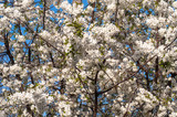 Blossom cherry tree flowers photography