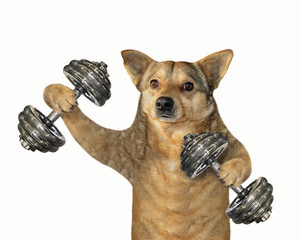 The dog athlete is lifting the dumbbell weights. White background. Isolated. © iridi66