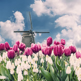 Landscape with tulip fields and windmill