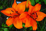 orange lily flower.Large bright lily flower in raindrops on a blurred green grassy background. Flower nature background.Summer flowers.
