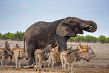 African elephant drinks water in Etosha National Park surrounded by zebras