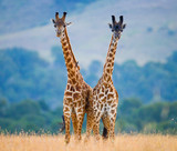 Two male giraffes fighting each other in the savannah. Kenya. Tanzania. East Africa.