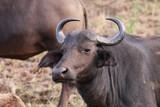 buffle en Afrique du sud