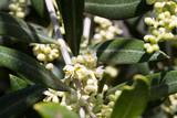 Flores de olivo abiertas en primavera