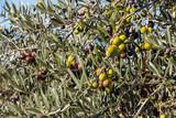 close-up of Spanish olives ripening on olive tree against blue sky