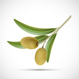 Olive branch with green berries. Isolated on white background
