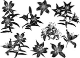 black lily flowers nine silhouettes isolated on white