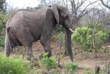 un éléphant dans la brousse en Afrique du Sud